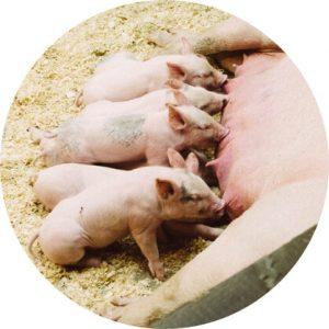 C4 Africa Pigs